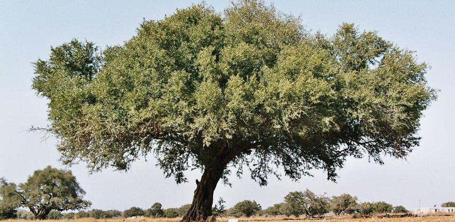 argan-tree-crop