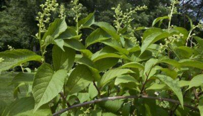 Planta care vindecă cancerul în 40 de zile?!