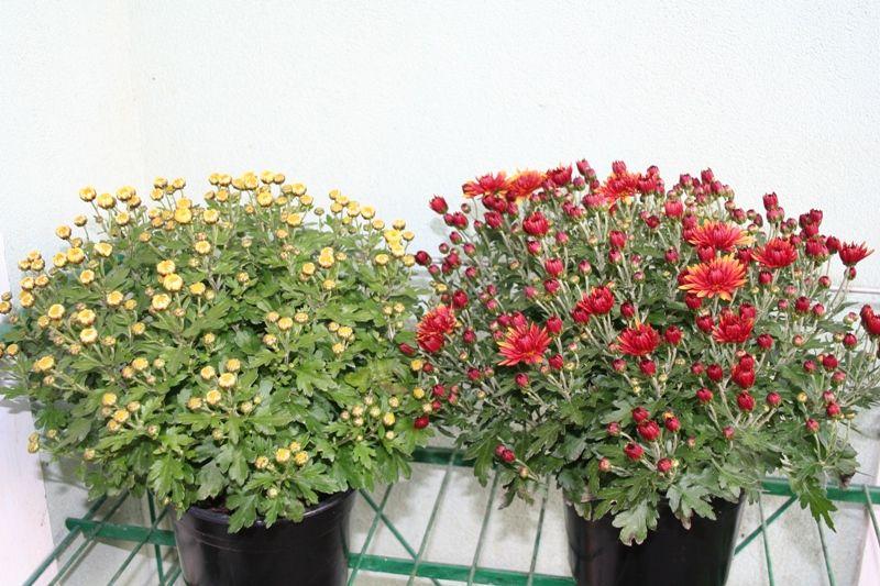 Crizantema-ghiveci-17