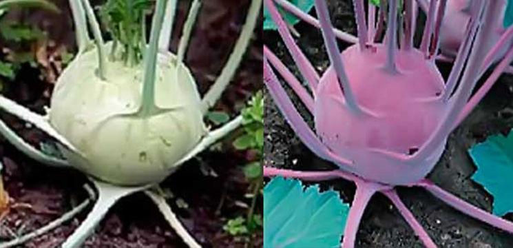 Foto: Gulia – legumă imunotonică minunată pentru a slăbi