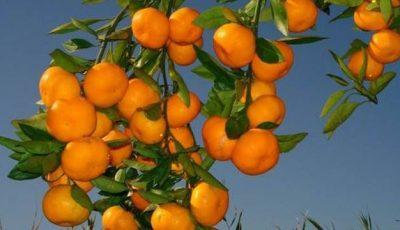 Mandarinele – o combinaţie sănătoasă de vitamine ce previn îmbătrânirea prematură