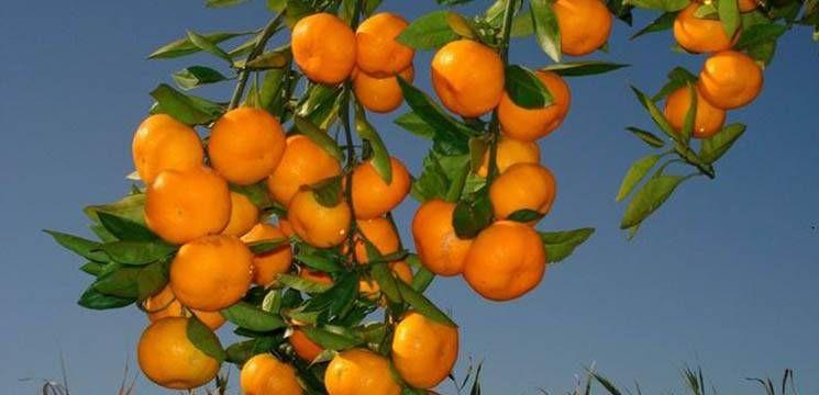 Foto: Mandarinele – o combinaţie sănătoasă de vitamine ce previn îmbătrânirea prematură