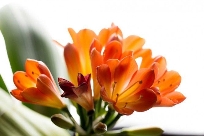 planta-crin-clivia-miniata-667x444
