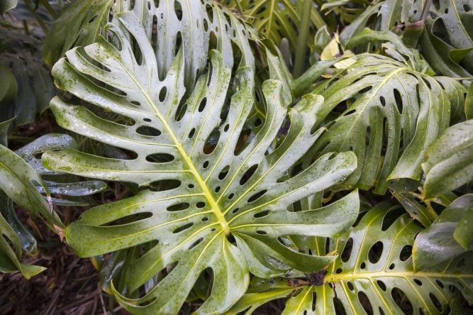 planta-monstera-deliciosa-667x444