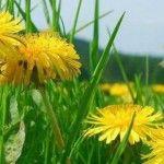 Foto: Păpădia – cel mai puternic detoxifiant care te ajută să slăbești