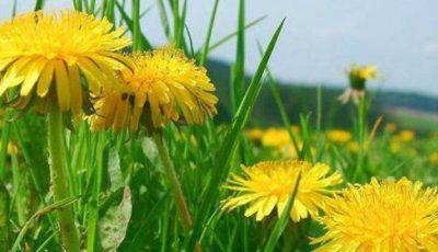 Păpădia – cel mai puternic detoxifiant care te ajută să slăbești