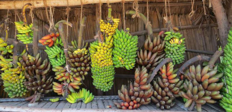 tipuri-soiuri-diferite-de-banane-care-nu-ajung-in-supermarket-ce-chimicale-contin-bananele-pesticide-toxice-bune-de-mancat