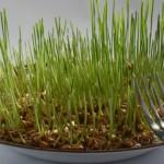Foto: O cură cu grâu verde este puternic detoxifiantă şi reglează hormonii feminini