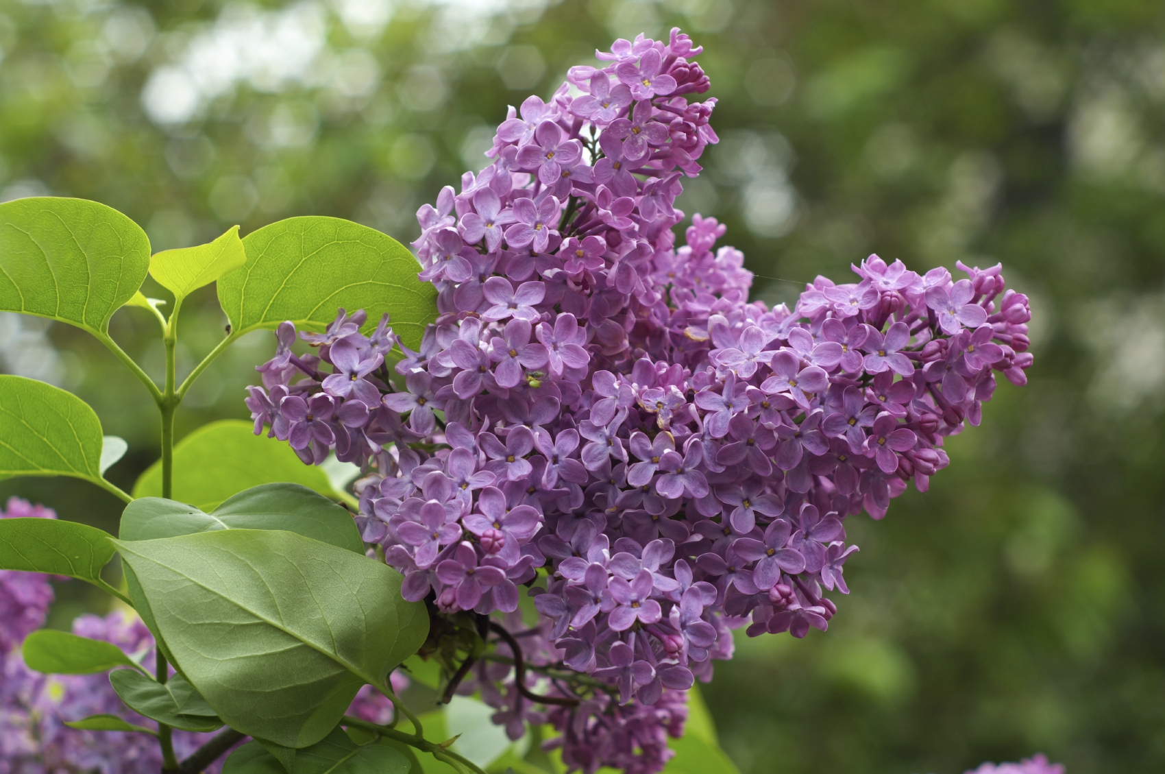lilac-bush1