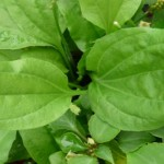 Foto: Această plantă este cel mai util medicament de pe pământ!