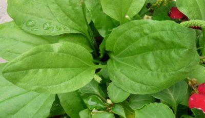 Această plantă este cel mai util medicament de pe pământ!
