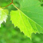 Foto: Frunzele de vie, excelente în menţinerea greutăţii, prevenirea cancerului, combaterea îmbătrânirii premature