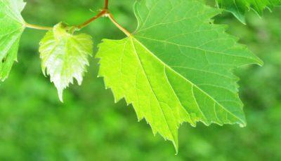Frunzele de vie, excelente în menţinerea greutăţii, prevenirea cancerului, combaterea îmbătrânirii premature