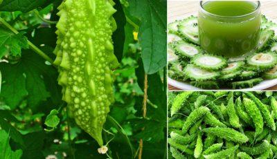 Castravetele amar, o sursă naturală de ,,insulină'' vegetală, purifică sângele şi stimulează digestia