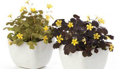 5 flori de cameră care aduc fericirea în familie