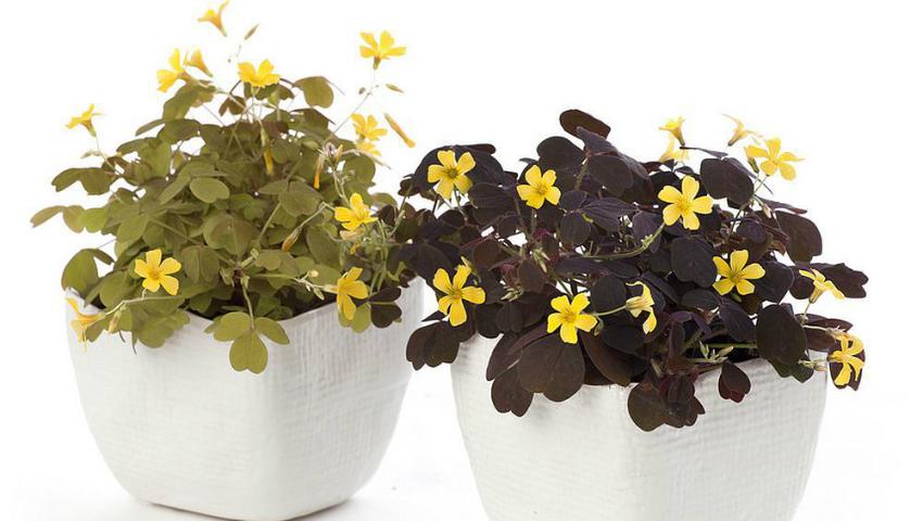 Foto: 5 flori de cameră care aduc fericirea în familie