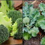 Foto: Un tânăr din Ialoveni cultivă broccoli pe două hectare de teren!