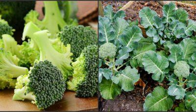 Un tânăr din Ialoveni cultivă broccoli pe două hectare de teren!