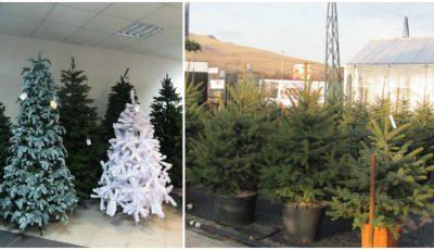 Cât costă brazii de Crăciun în Chișinău!