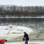 Foto: Imagini rare! Circa 300 de lebede s-au adăpostit pe malul râului Nistru, la Florești