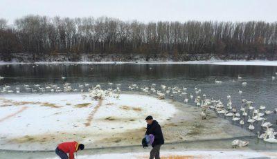 Imagini rare! Circa 300 de lebede s-au adăpostit pe malul râului Nistru, la Florești