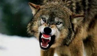 Avertizare! Lupii au dat buzna pe străzile unui oraș din țară
