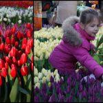 Foto: În Olanda a fost sărbătorită Ziua Națională a Lalelelor!