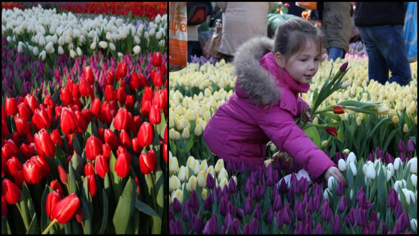 În Olanda a fost sărbătorită Ziua Națională a Lalelelor!