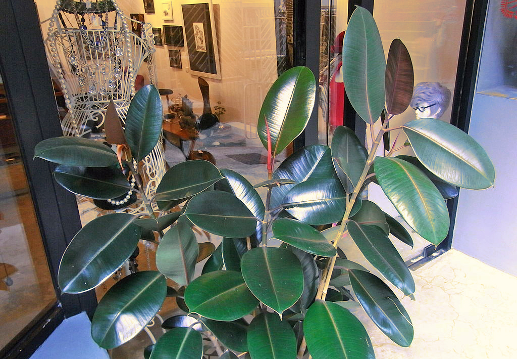 Rubber-Plant-Ficus-Elastica-air-purifying-and-cleaning