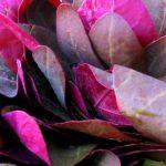 Foto: Loboda roșie combate cancerul și curăță vasele de sânge