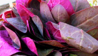Loboda roșie combate cancerul și curăță vasele de sânge