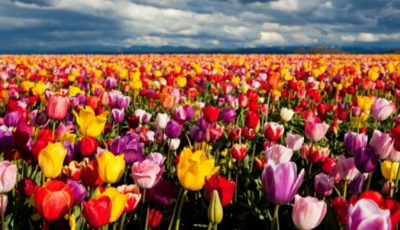 Priveliști spectaculoase! Zeci de hectare de lalele înflorite la Bardar