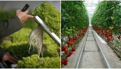 Imagini șocante! Se cultivă tone de legume fără pământ