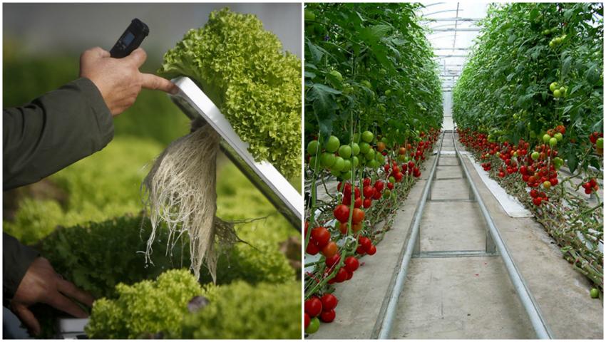 Foto: Imagini șocante! Se cultivă tone de legume fără pământ