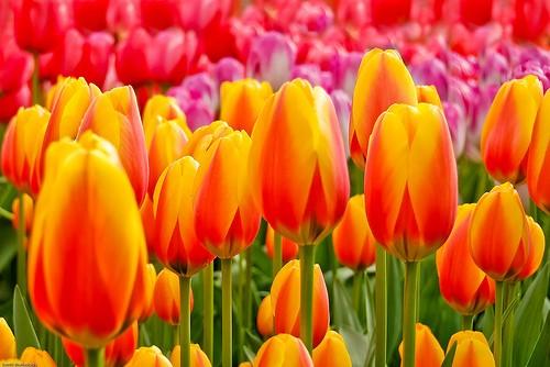 tulip1-500x334