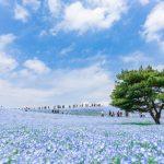 Foto: Spectaculos! Cum arată câmpul cu 4,5 milioane de flori nemophila