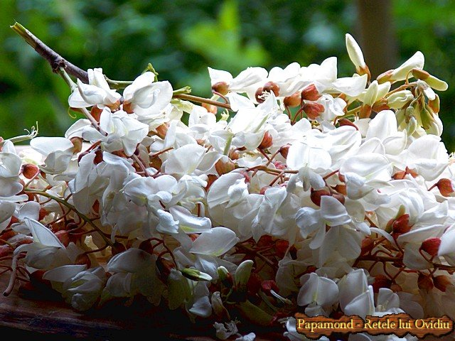 gogosi-cu-flori-de-salcam-1