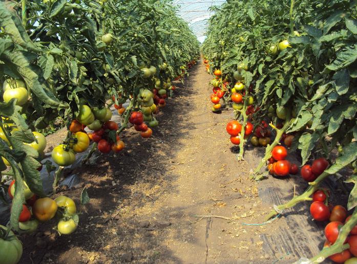 solarii-solar-sera-sere-legume-fructe-flori-plantare-cultivare-rasaduri-gradina-camp-incalzite-iluminat-artificial-tunel-hrana-sanatoasa-din-piata-nu-supermarket-rosii-castraveti-salata1