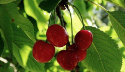 În sudul Moldovei se coc cireșele!