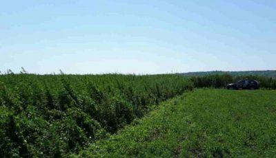 Un moldovean care s-a întors de peste hotare a găsit pe terenul său două hectare de cânepa