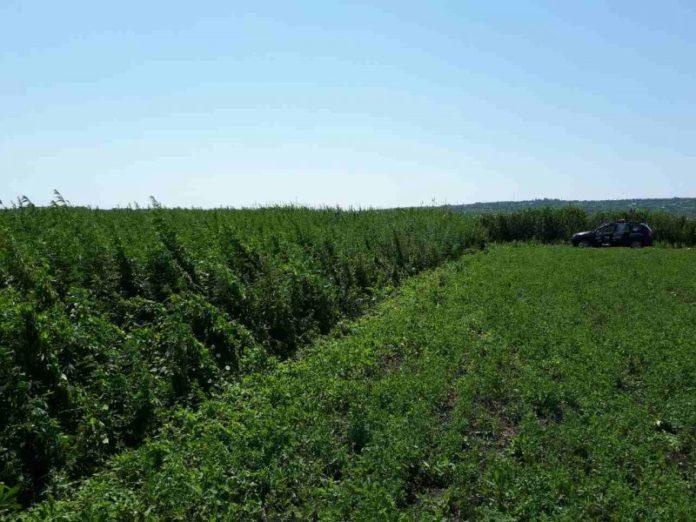 Foto: Un moldovean care s-a întors de peste hotare a găsit pe terenul său două hectare de cânepa