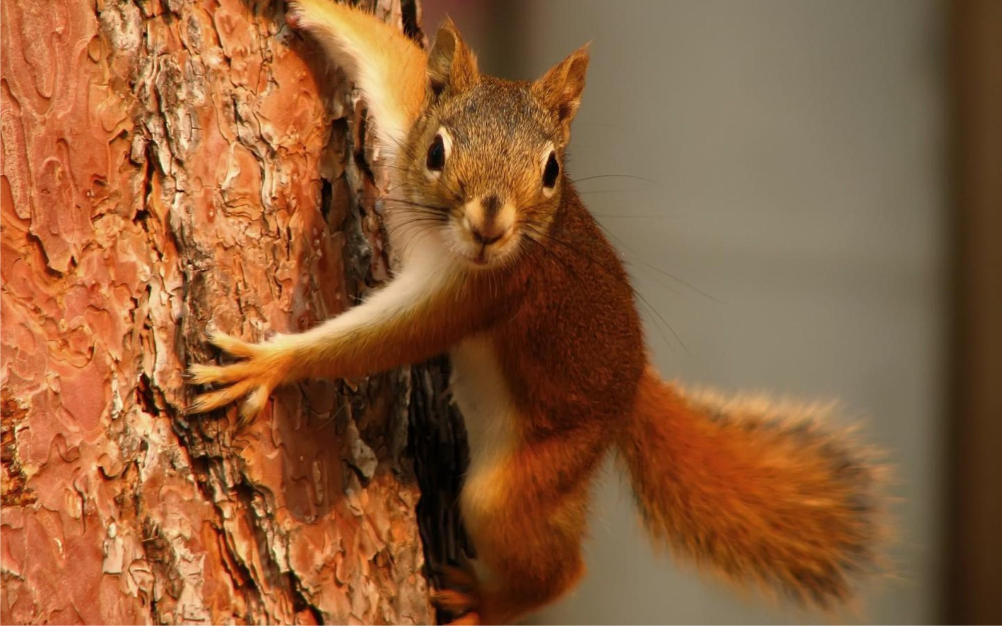 poze_animale_salbatice-veverita-pe-copac