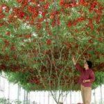 Foto: Impresionant! Pomul ce face roșii există și în România