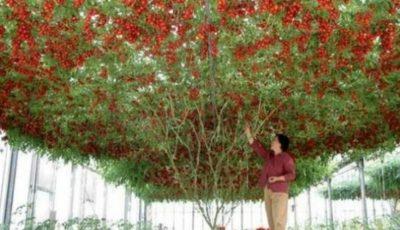 Impresionant! Pomul ce face roșii există și în România