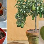 Foto: Cum să cultivi Avocado la tine acasă