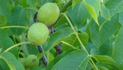 Fructul care previne cancerul și bolile de inimă