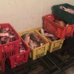 Foto: Video!!! Pește viu păstrat în condiții antisanitare