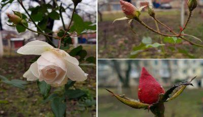 Temperaturi de +11 grade în prima zi a noului an. La Cahul au înflorit trandafirii
