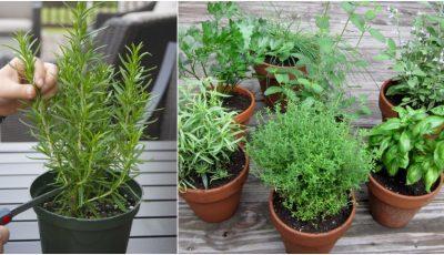 Planta care îmbunătățește memoria dacă o miroși