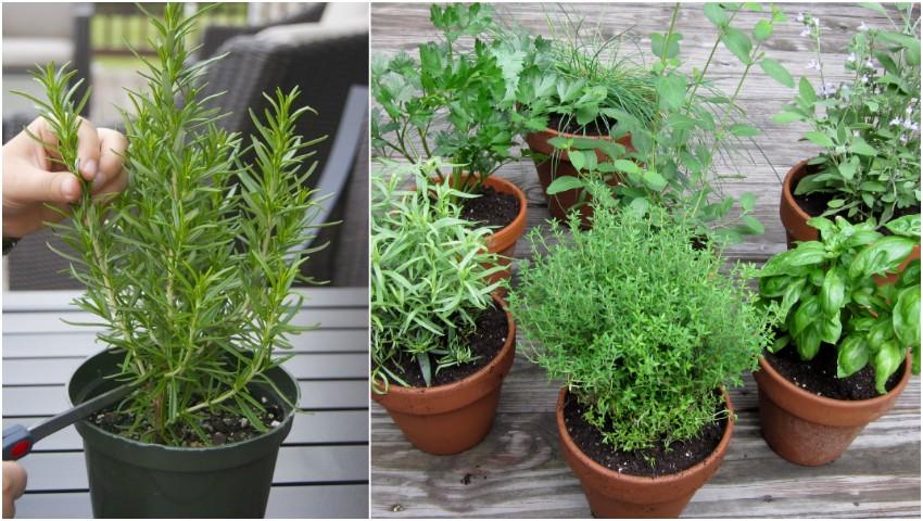 Foto: Planta care îmbunătățește memoria dacă o miroși